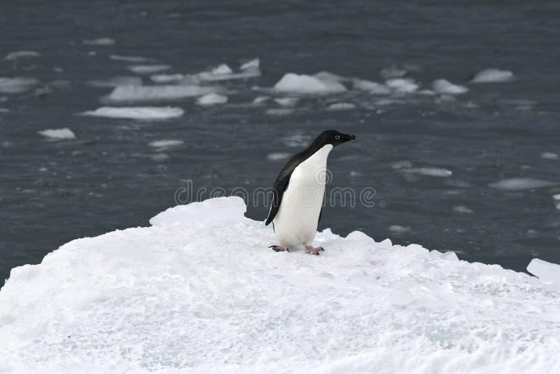 Pinguino del Adelie (adeliae del Pygoscelis) immagini stock libere da diritti