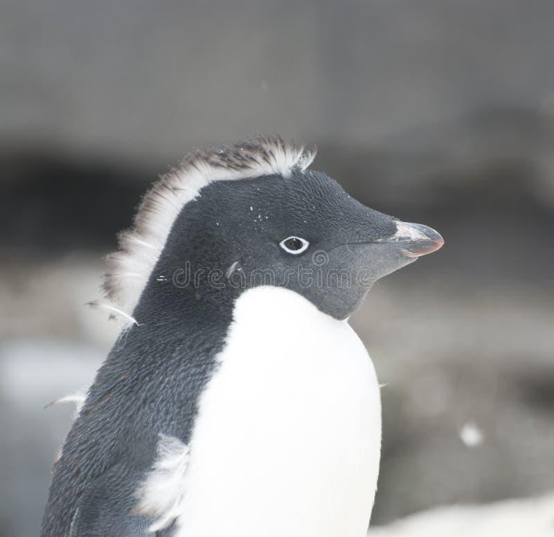Pinguino del Adelie - mohawk (iroquois). fotografie stock libere da diritti