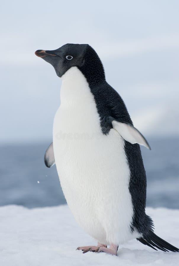 Pinguino del Adelie nella neve fotografia stock