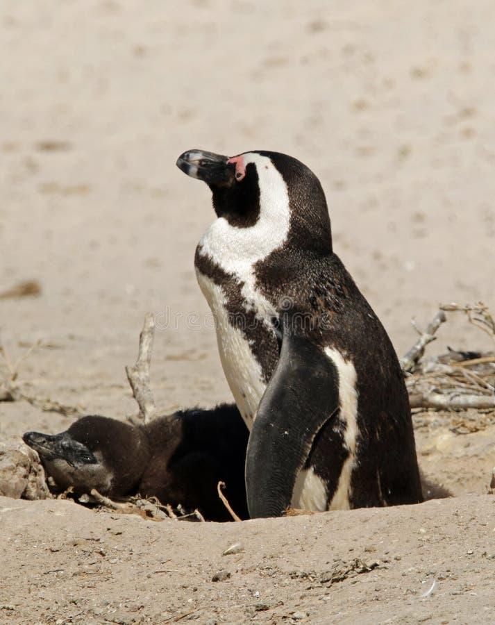 Pinguino del bambino con uno dei suoi genitori immagine stock libera da diritti