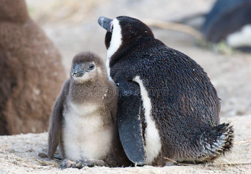 Pinguino del bambino e della madre fotografie stock libere da diritti