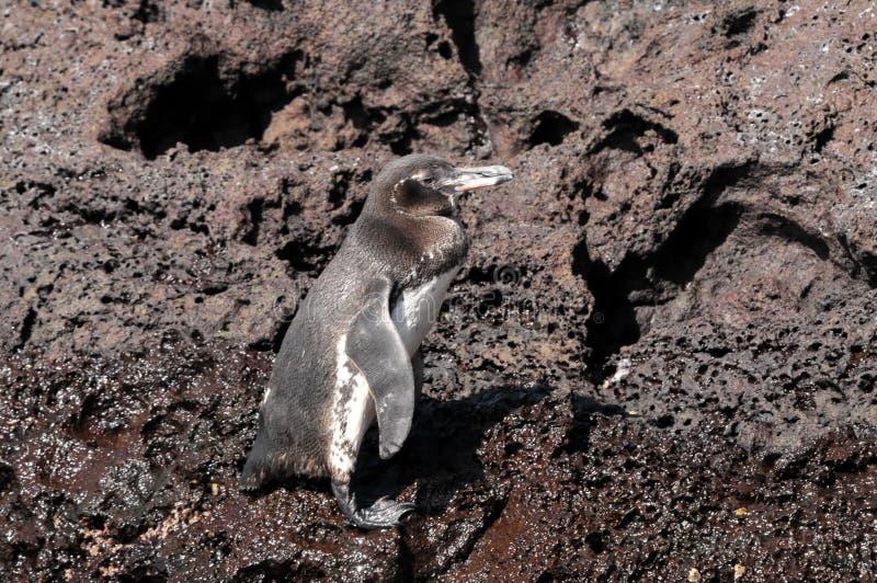 Pinguino del Galapagos fotografia stock libera da diritti