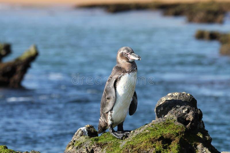 Pinguino del Galapagos fotografia stock