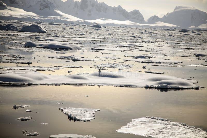 Pinguino dell Antartide nel tramonto