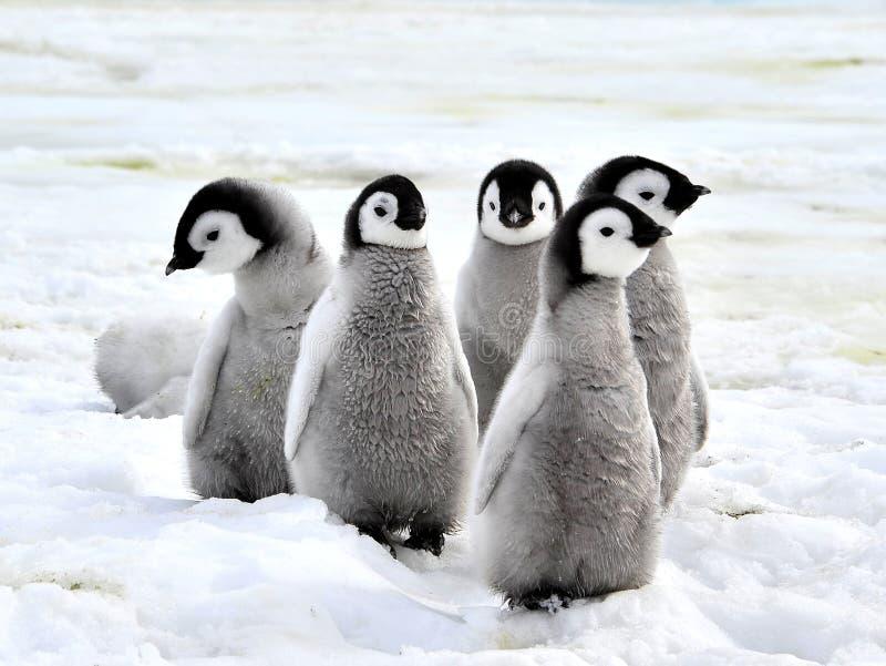 Pinguino dell'imperatore fotografie stock