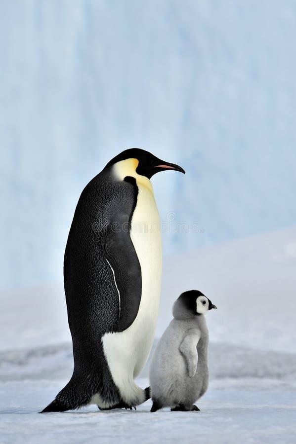 Pinguino dell'imperatore immagini stock