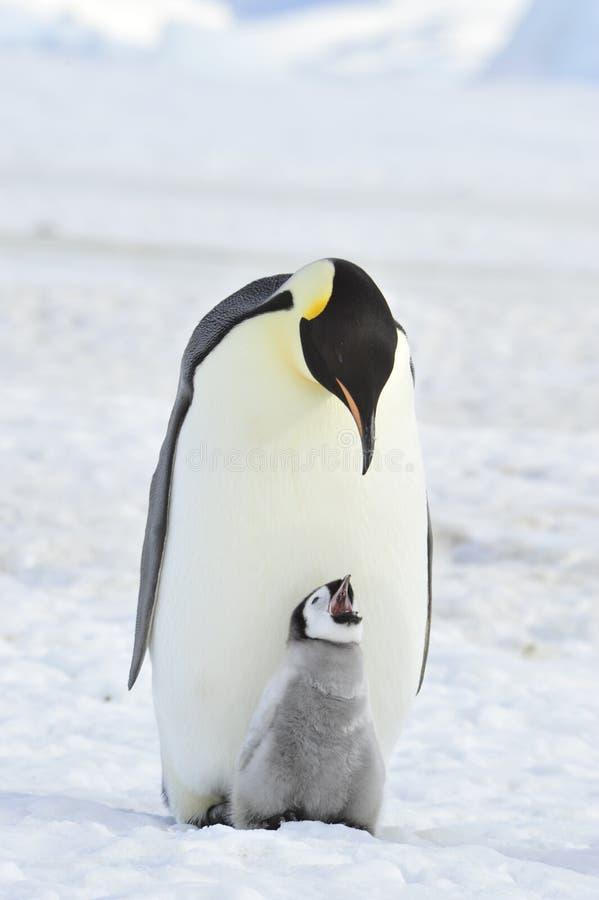 Pinguino dell'imperatore