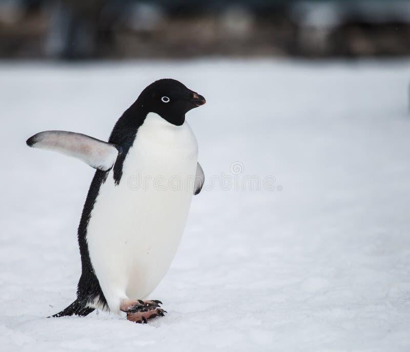 Pinguino di Adelie immagine stock libera da diritti