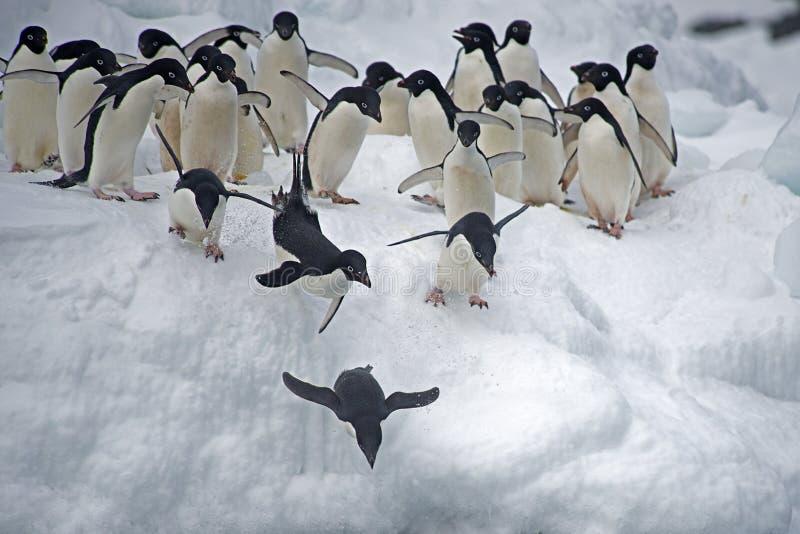 Pinguino di Adelie su ghiaccio, mare di Weddel, Anarctica immagini stock libere da diritti