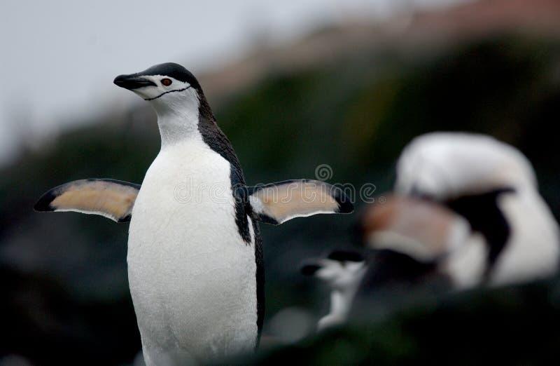 Pinguino di Chinstrap fotografia stock