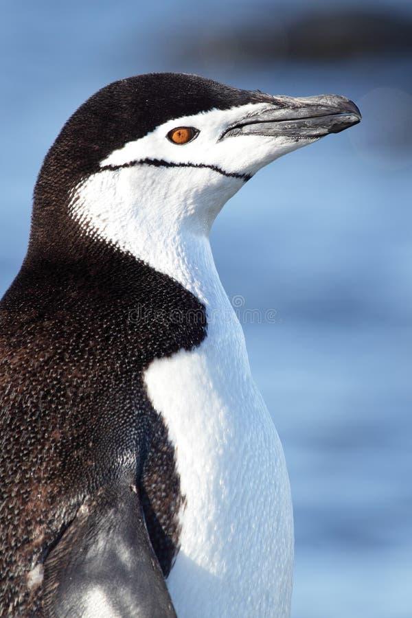 Pinguino di Chinstrap, Antartide fotografia stock libera da diritti