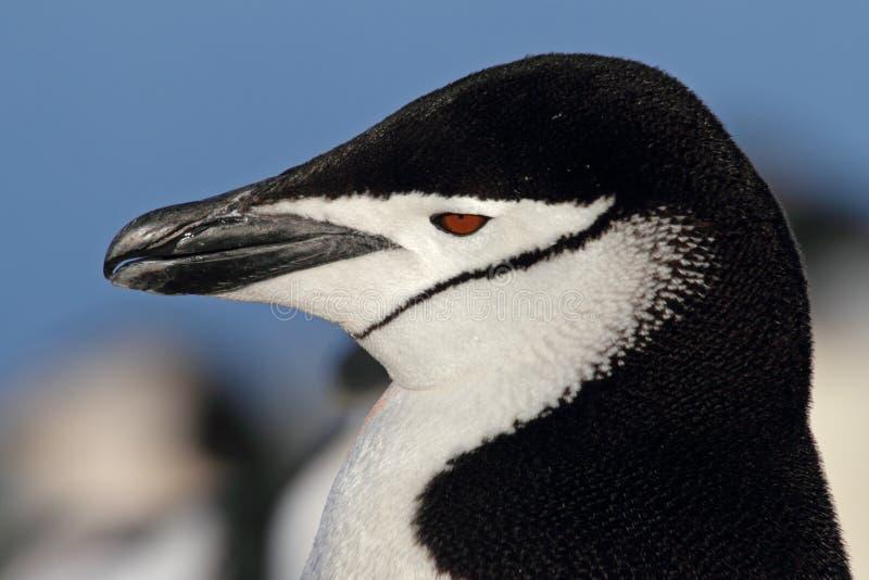Pinguino di Chinstrap, Antartide fotografie stock libere da diritti