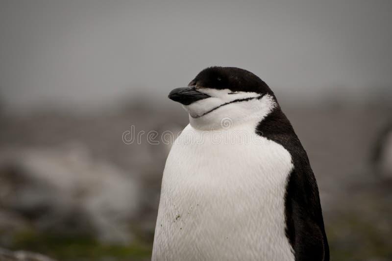 Pinguino di Chinstrap in Antartide fotografia stock