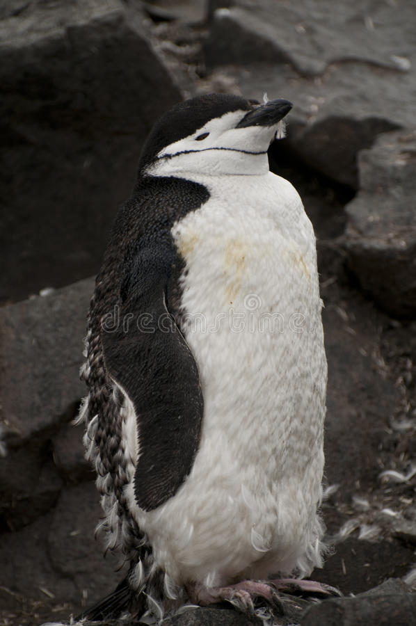 Pinguino di Chinstrap in Antartide immagine stock