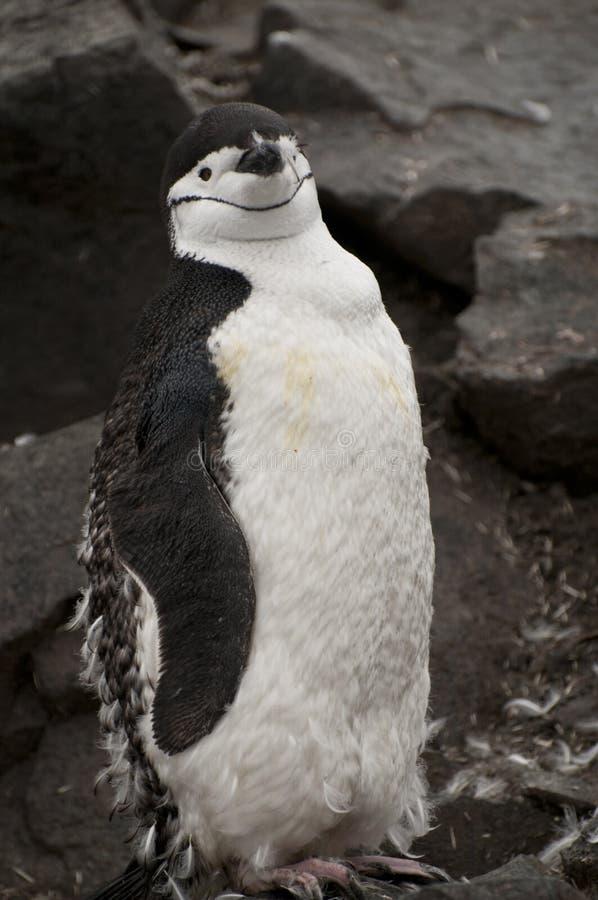 Pinguino di Chinstrap in Antartide immagini stock