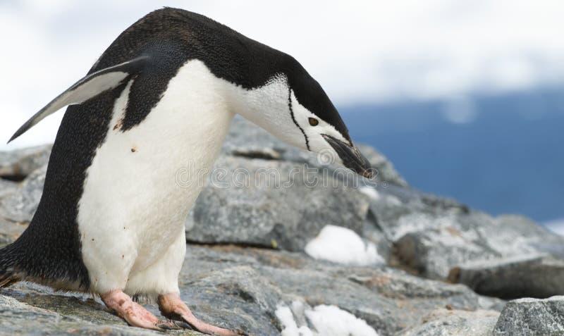 Pinguino di Chinstrap di curvatura fotografia stock