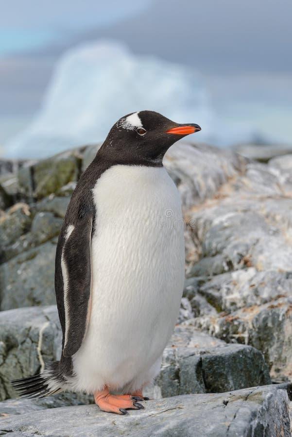 Pinguino di Gentoo che resta sulla roccia in Antartide fotografie stock