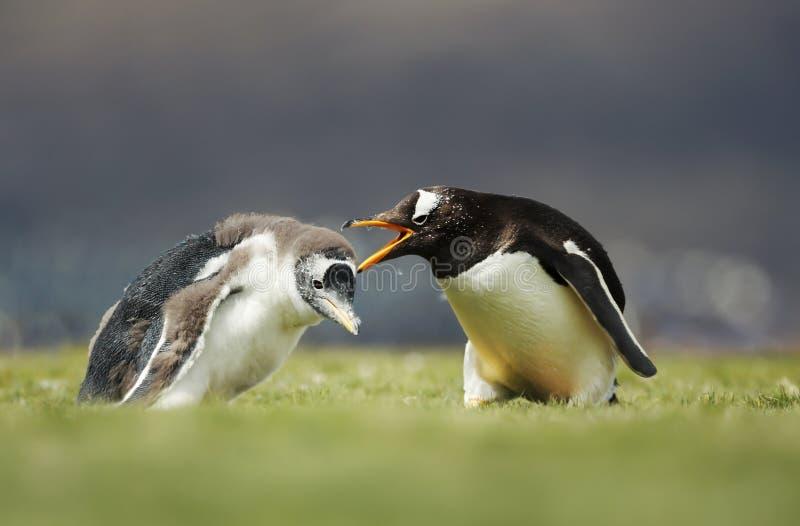 Pinguino di Gentoo che urla ad un pulcino per un comportamento difficile fotografia stock