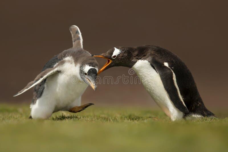Pinguino di Gentoo che urla ad un pulcino per un comportamento difficile fotografia stock libera da diritti
