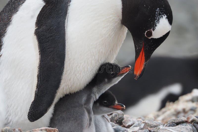 Pinguino di Gentoo e due pulcini immagini stock