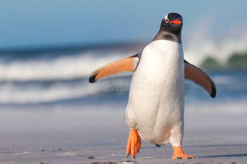 Pinguino di Gentoo (pygoscelis papua) che cammina sulla spiaggia