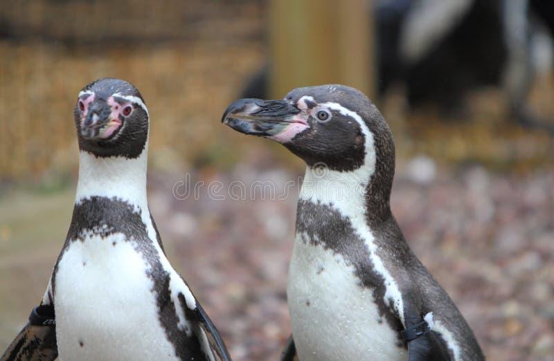 Pinguino di Humboldt fotografia stock