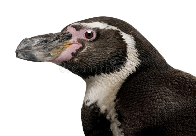 Pinguino di Humboldt, humboldti dello spheniscus immagini stock libere da diritti