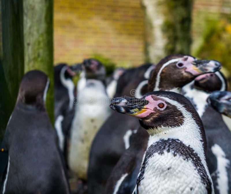 Pinguino di Humboldt nella fine su con una grande colonia dei pinguini nei precedenti, uccello minacciato con stato vulnerabile fotografie stock