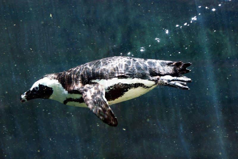 Pinguino di immersione subacquea immagine stock