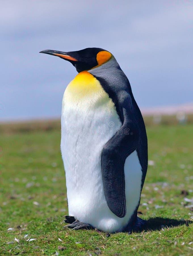Pinguino di imperatore del pulcino immagini stock