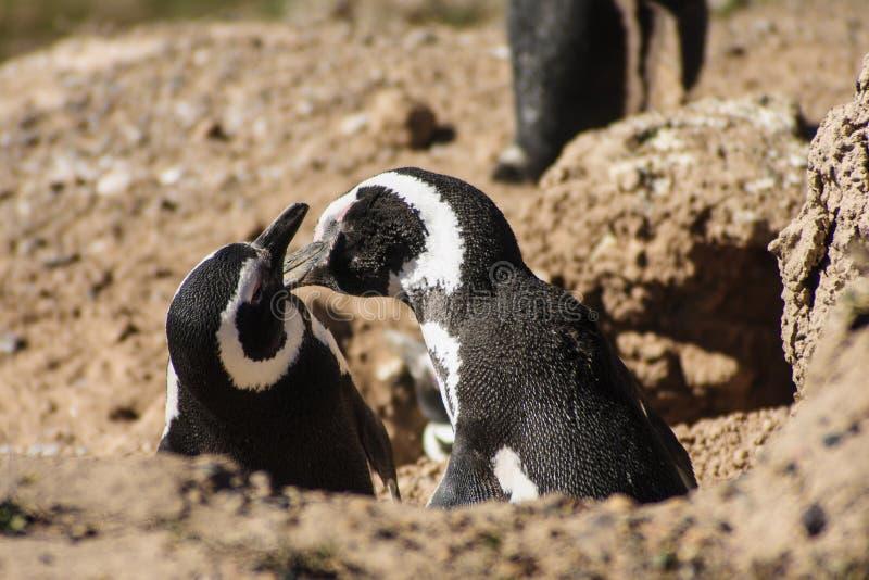 Pinguino di Magellanic fotografie stock libere da diritti