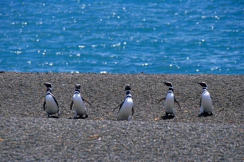 Pinguino di Magellanic (magellanicus dello Spheniscus) fotografie stock libere da diritti