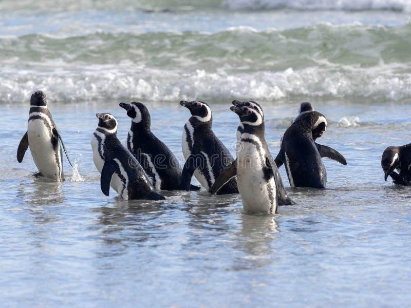 Pinguino di Magellanic, magellanicus dello Spheniscus, nuotante nell'isola del mare dei ricevitori acustici, Falkland Islands-Mal fotografia stock libera da diritti