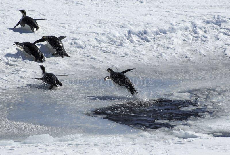 Pinguino di salto