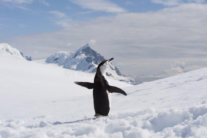 Pinguino di sottogola in Anatcrtica fotografia stock