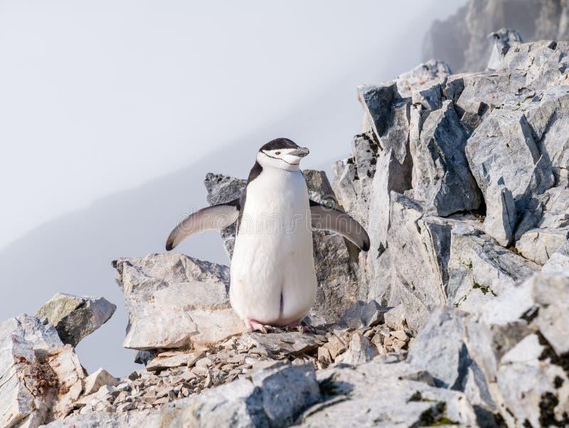Pinguino di sottogola, antarcticus del Pygoscelis, sul mounta di punta della spina immagine stock libera da diritti