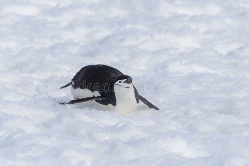 Pinguino di sottogola che striscia sulla neve fotografie stock libere da diritti