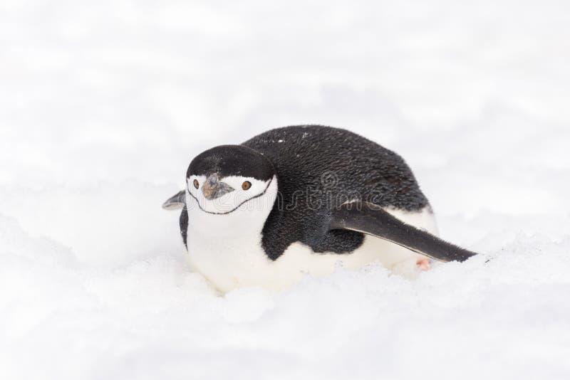 Pinguino di sottogola che striscia sulla neve in Antartide fotografia stock libera da diritti