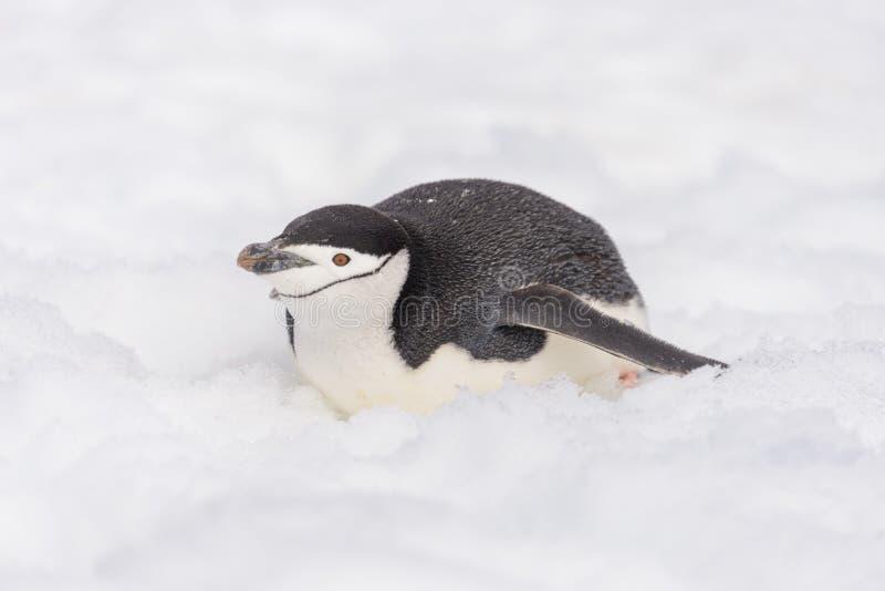 Pinguino di sottogola che striscia sulla neve in Antartide immagini stock libere da diritti