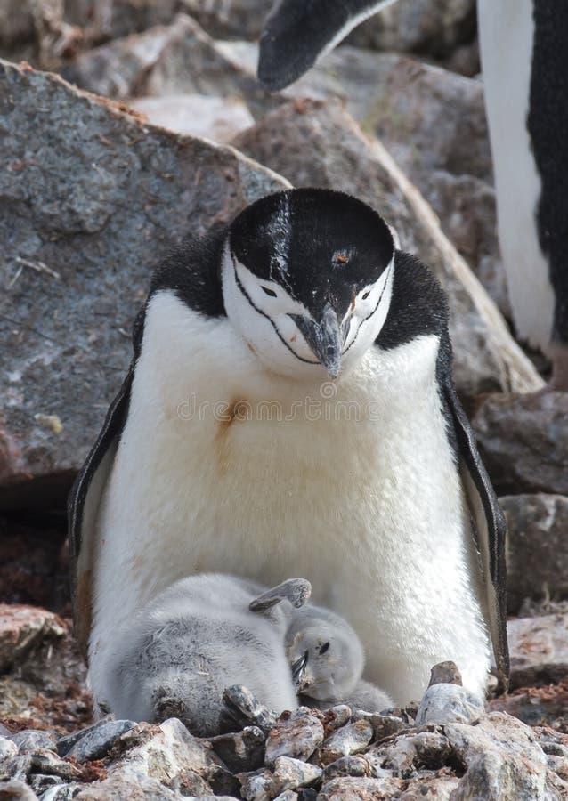 Pinguino di sottogola con il pulcino immagini stock libere da diritti