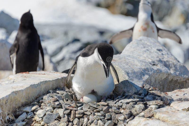 Pinguino di sottogola con l'uovo sulla spiaggia in Antartide fotografia stock libera da diritti