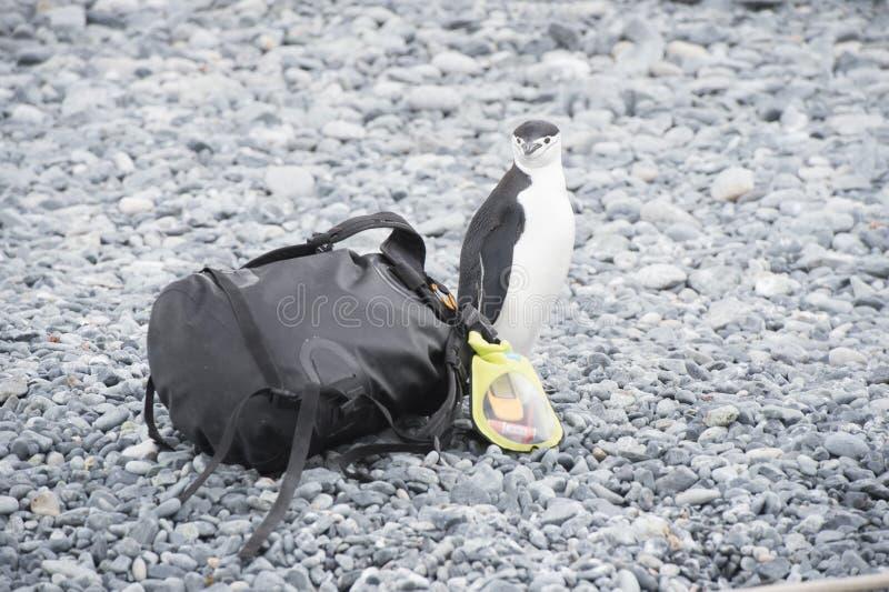 Pinguino di sottogola con la borsa fotografia stock libera da diritti