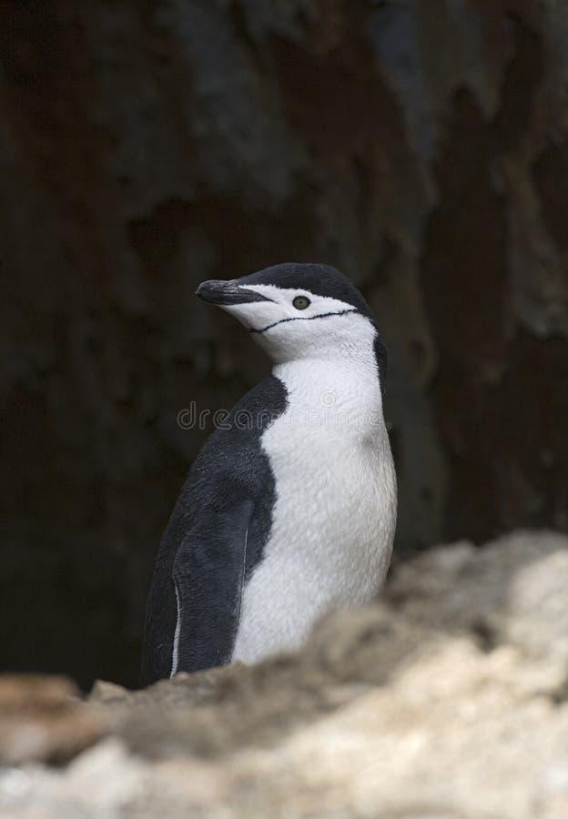Pinguino di sottogola, Keelbandpinguin, antarcticus del Pygoscelis immagini stock libere da diritti