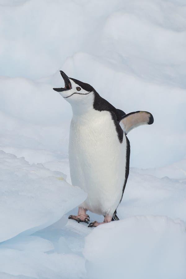 Pinguino di sottogola sul ghiaccio fotografia stock libera da diritti