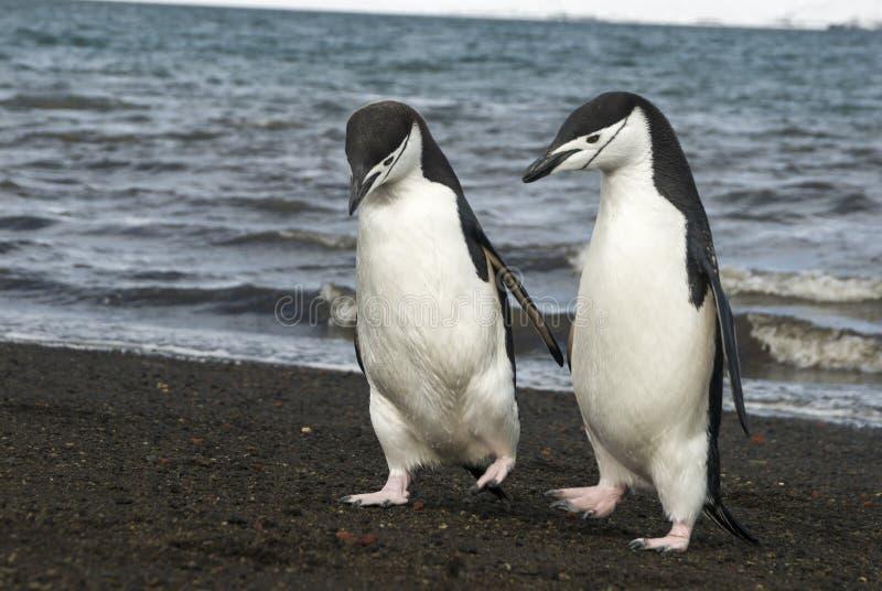 Pinguino di sottogola sulla spiaggia fotografie stock