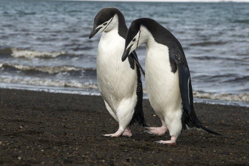 Pinguino di sottogola sulla spiaggia fotografia stock libera da diritti