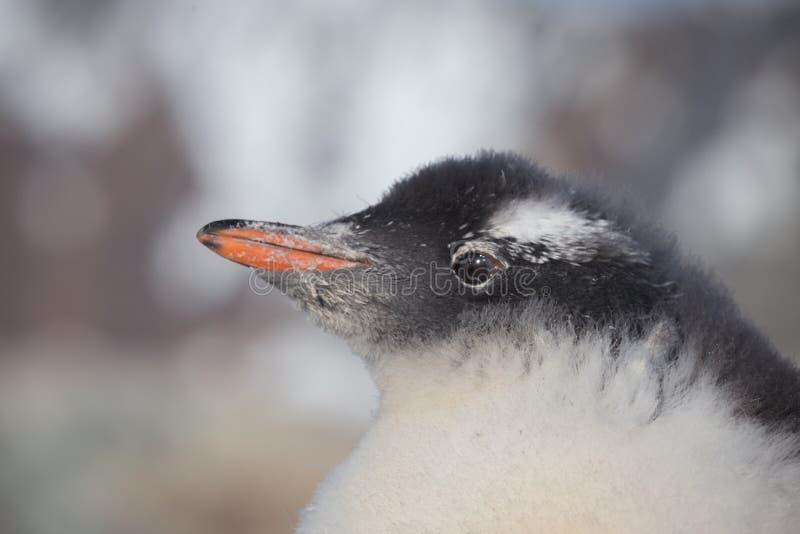 Pinguino Gentoo dei pulcini Ritratto del pinguino del bambino in Antartide, isole dell'Argentina fotografia stock