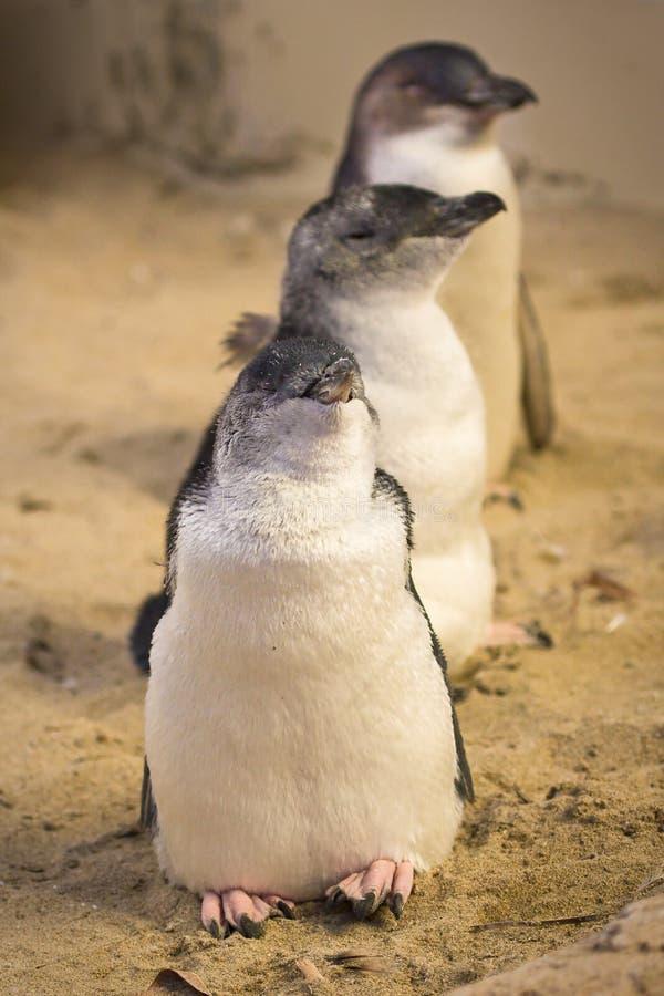 Pinguino leggiadramente fotografia stock