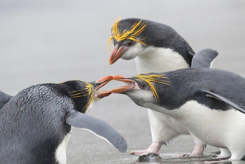 Pinguino reale, schlegeli del Eudyptes fotografia stock