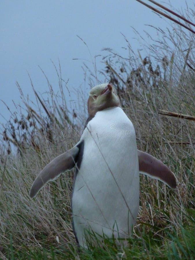 Pinguino sulla terra in Nuova Zelanda fotografia stock libera da diritti